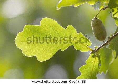 Leaves  tree  oak - stock photo