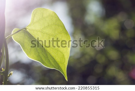Leaves with morning sunlight - stock photo