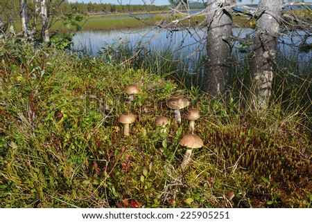 Leccinum scabrum. Birch mushroom in the forest. - stock photo