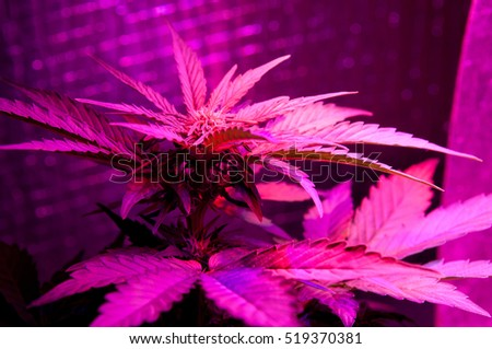 led Grow light marijuana plant, cultivation of cannabis