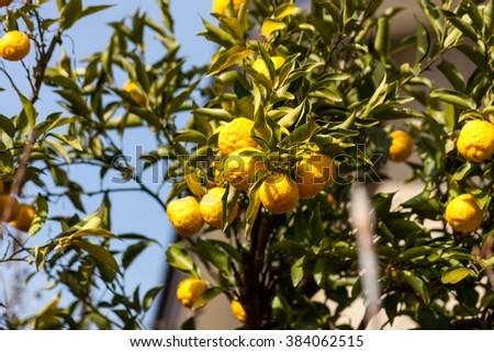 Leech lime or Bergamot fruits hanging on its tree., Soft focus - stock photo