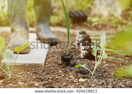 Leek seedlings lying on freshly ploughed garden bed, prepared for planting with gardener in the background in the morning sun. Organic gardening, healthy food, agriculture nutrition and diet concept.  - stock photo