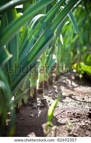 Leeks growing in the garden - stock photo