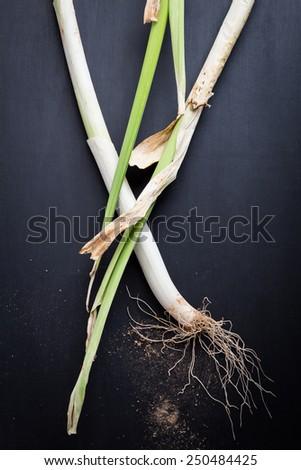 Leeks on a Black Background - stock photo