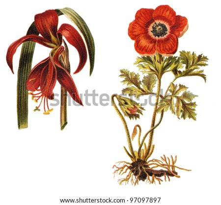 left Amaryllis (Amaryllis formosissima) and right poppy anemone (Anemone coronaria) / vintage illustration from Meyers Konversations-Lexikon 1897 - stock photo