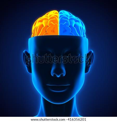 Left right human brain anatomy illustration stock illustration left and right human brain anatomy illustration 3d rendering ccuart Choice Image