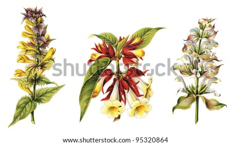 left blue cow-wheat (Melampyrum nemorosum), middle Alloplectus peltatus and right clary sage (Salvia sclarea) / vintage illustration from Meyers Konversations-Lexikon 1897 - stock photo