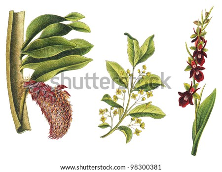left Orchid (Bulbophyllum beccarii), middle Spindle (Euonymus europaeus) and right Fly Orchid (Ophrys muscifera) / vintage illustration from Meyers Konversations-Lexikon 1897 - stock photo