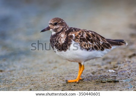Left side close up of  Ruddy Turnstone(Arenaria interpres)  in nature of Thailand