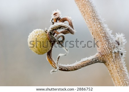 Leftover white grape on a tendril with lots of ice crystals - stock photo