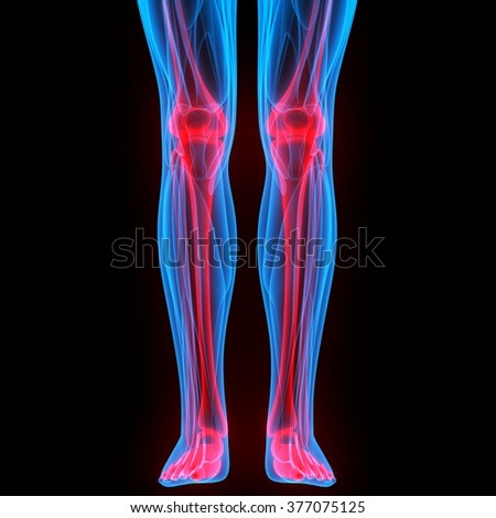 Leg and Knee Joints with Muscles - stock photo