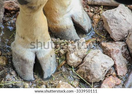 Leg of Bos Gaur - stock photo