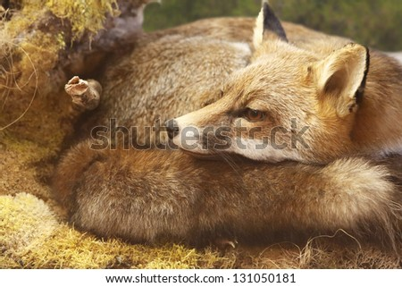 legendary creature, red fox resting rolled-up in forest - stock photo