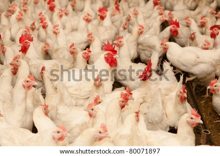 Leghorn is a breed of chicken with origins in Tuscany, central Italy. - stock photo