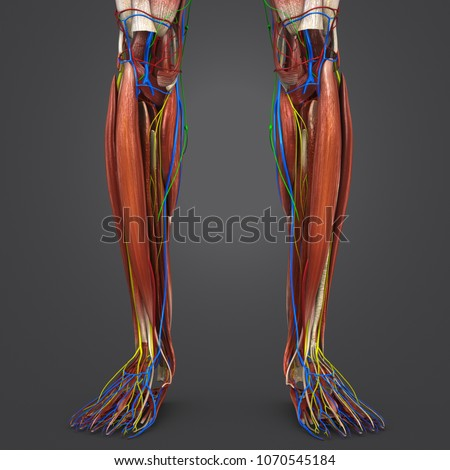Legs Muscle Anatomy Arteries Veins Nerves Stock Illustration
