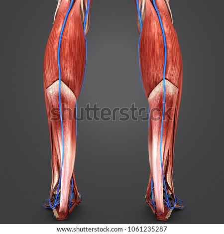 Legs Muscles Anatomy Veins Posterior View Stock Illustration ...