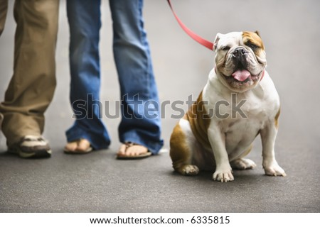 Legs of Caucasian couple with English Bulldog on leash. - stock photo