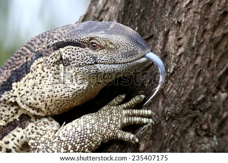 Leguaan or water monitor with a long forked tongue and scaly skin - stock photo