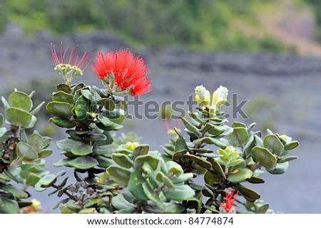 Lehua Blossom, Kilauea Iki Trail, Big Island, Hawaii - stock photo