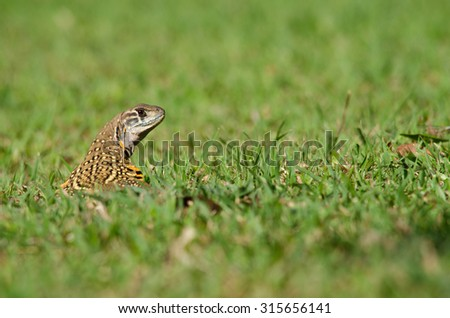 Leiolepis, commonly known as butterfly lizards or butterfly agamas, are group of agamid lizards of which very little is known.