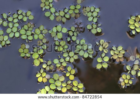 Lemna minor (Common Duckweed or Lesser Duckweed) - stock photo