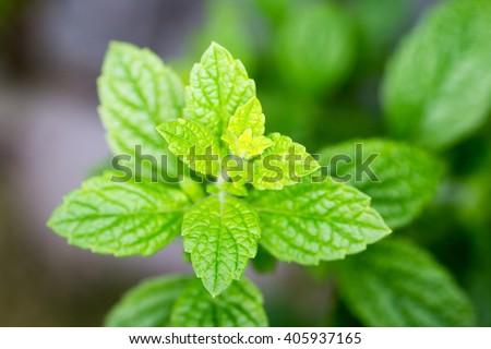 lemon balm - stock photo