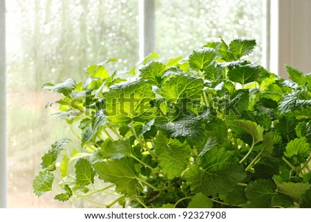 Lemon balm herb plant (Melissa officinalis)  in kitchen window with sunlit raindrops on window pane.  Macro with shallow dof.