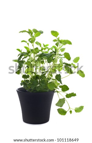Lemon balm in black pot on white background