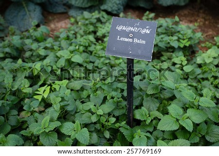 lemon balm, natural herb Lemon balm in the garden with name tag in Thailand - stock photo