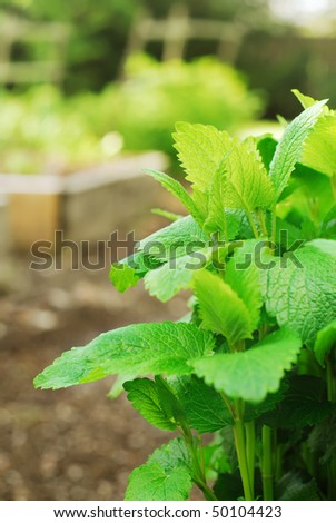 Lemon Balm plant in garden - stock photo