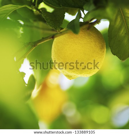 Lemon close up