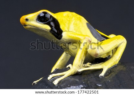 Lemon dart frog / Dendrobates tinctorius - stock photo