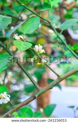 Lemon flower - stock photo