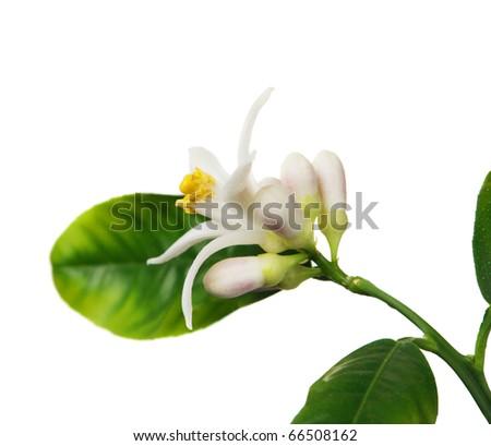 Lemon flower on the white background (Citrus limon) - stock photo