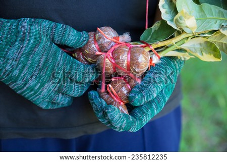 Lemon graft agricultural technique to make new life in thailand - stock photo