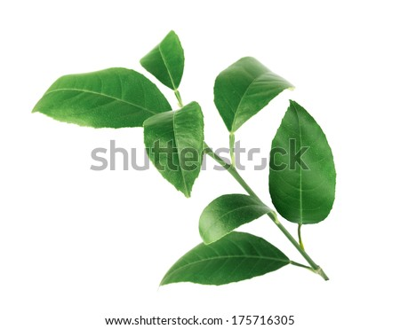 Lemon green leaves isolated on a white background