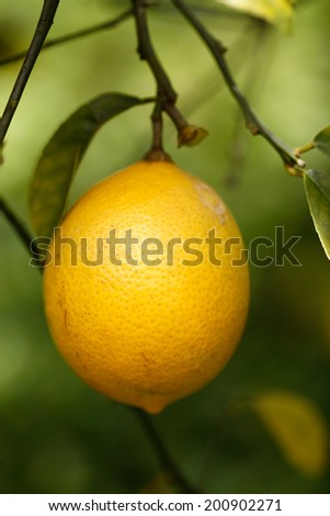 Lemon hanging on a tree branch