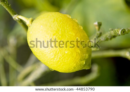 Lemon in their natural habitat with water drops