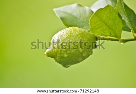 Lemon in tree after rain on green background - stock photo
