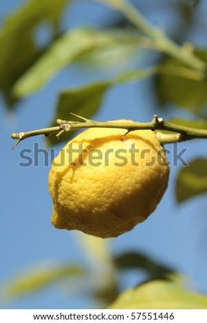 Lemon laden tree - stock photo