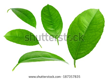 Lemon Leaves isolated on a white