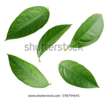 Lemon leaves  isolated on white. Collection  - stock photo