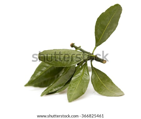 lemon leaves on a white background