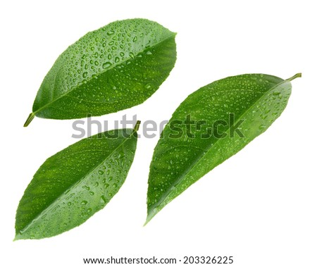 Lemon leaves with drops isolated on white - stock photo