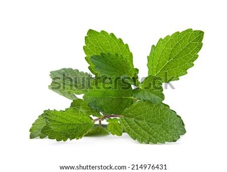 Lemon melissa leaf closeup isolated on white - stock photo