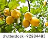 Lemon on the tree in Costiera Amalfitana, tipical Italian location for this fruit - stock photo