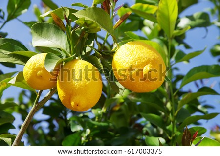 Lemon on the tree in south of Portugal