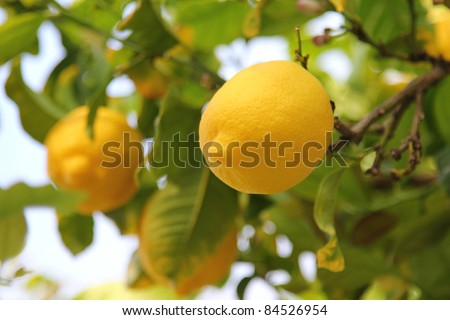 Lemon on the tree showing its tip