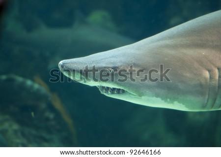 Lemon Shark close-up - stock photo