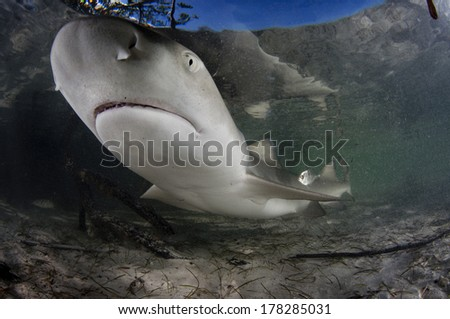 Lemon Shark in the Shallows - stock photo